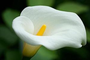 Цветы каллы: выращивание дома и в саду