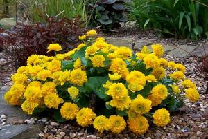 Выращивание калужницы махровой в саду