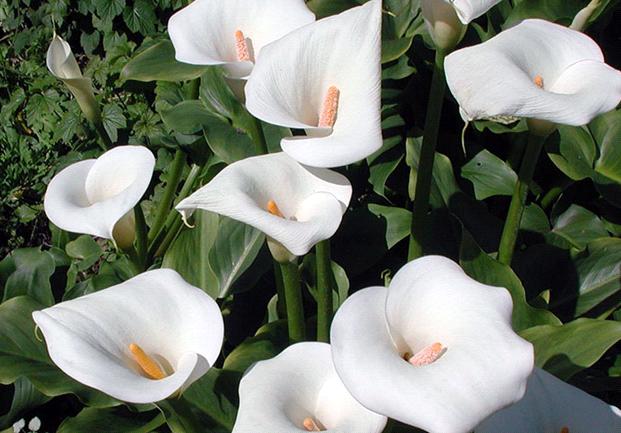 цветок астильба фото и описание