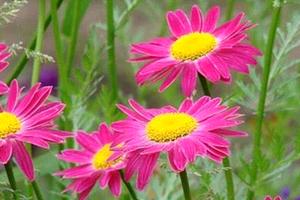 Условия выращивания и лекарственные свойства ромашки кавказской