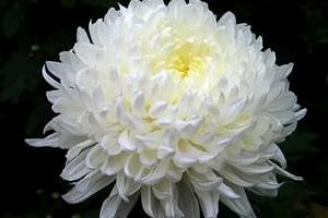 Хризантема садовая – королева осени