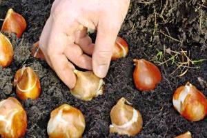 Когда рекомендуется пересаживать тюльпаны?