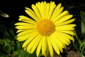 Желтая ромашка – правильный выбор для любого цветника