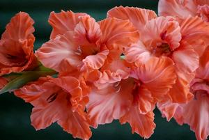 Гладиолусы – выращивание, уход, правила подкормки