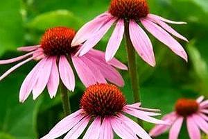 Выращивание, лечебные и полезные свойства травы эхинацеи