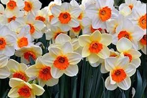 Уход за нарциссами после цветения