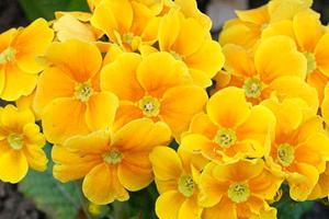 Цветок примула дома и в саду