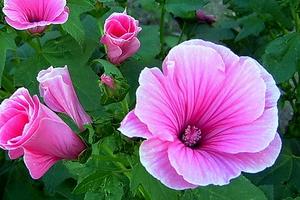 Лаватера цветы – зажмурьтесь от яркости дикой розы