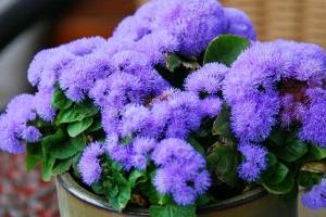 Цветы из рода Агератум (Ageratum L.): лучшие сорта, посадка и уход