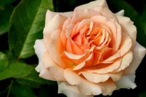 Выращивание кремовых роз