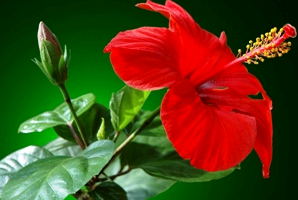 Китайская роза или гибискус садовый