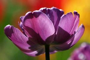 Благородный тюльпан блю даймонд