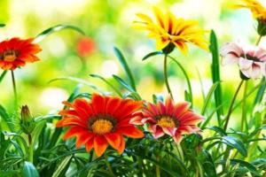 Цветок гацания - как вырастить на даче?