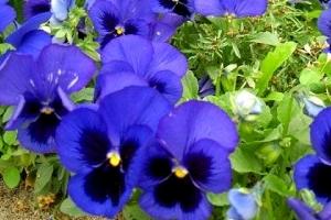 Садовые анютины глазки: история культивирования цветов, посадка и уход