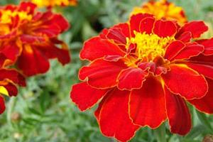 Цветы рода Бархатцы (Tagetes): культивирование растений, подготовка к посадке и уход
