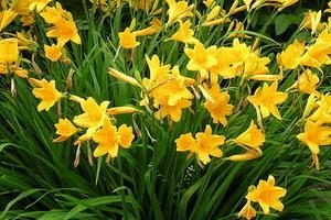 Как правильно вырастить лилейник желтый