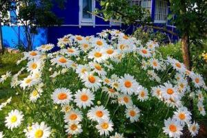 Несколько причин посадить садовую ромашку в своем саду