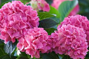 Как добиться обильного цветения розовой гортензии