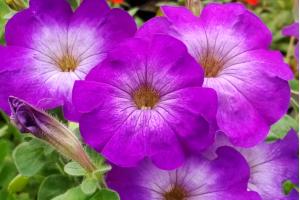 Очаровательная красавица - петуния Джоконда