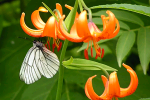Неприхотливая красавица лилия Саранка