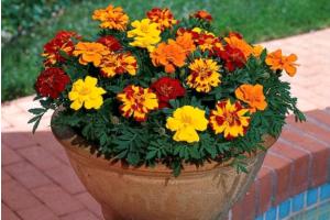 Пять причин завести в цветнике Тагетес отклоненный