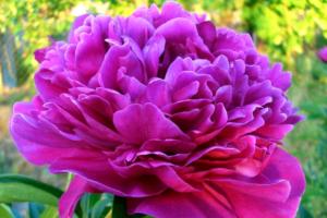 Роскошный красавец - пион Канзас