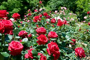 Кто ест листья розы?