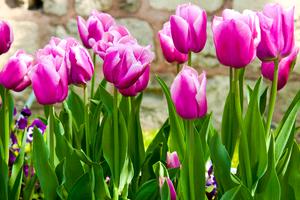 Весенние короли сада: выращивание тюльпанов в открытом грунте