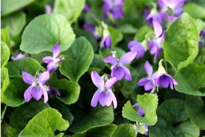 Почему не цветут садовые фиалки