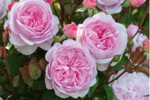 Истинная англичанка - пионовидная роза