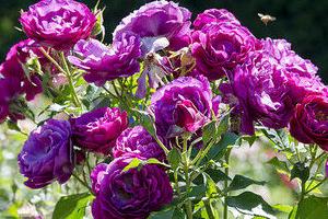 Фиолетовые розы в саду