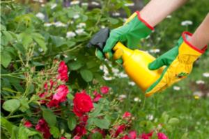 Зеленые жучки на розах. Методы борьбы