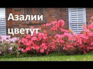 Ландшафтный дизайн. Азалия цветет, краснолистные клены, весенние цветники