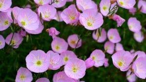 Дикие цветы Техаса, розовая энотера, цветы на обочинах дорог  и Леди Бёрд