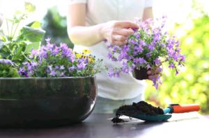 Цветы Маттиолы – «ночная фиалка»