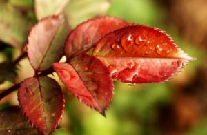 Красные листья у розы: причины и способы избавления