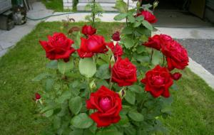 Секреты и хитрости размножения роз семенным способом
