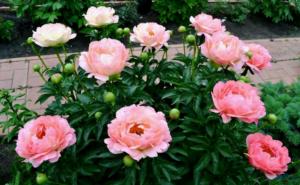 Пион Корал Сансет – очарование нежности в саду