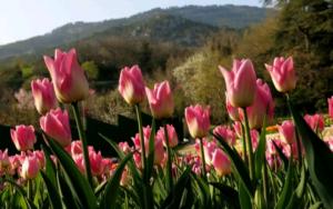 Тюльпаны Tulipa