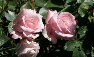 Особенности чайно-гибридных роз