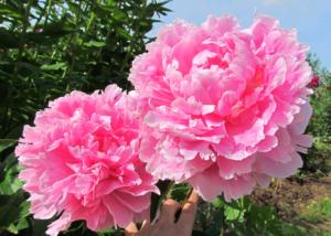 Пион Сара Бернар цветок с интересной историей