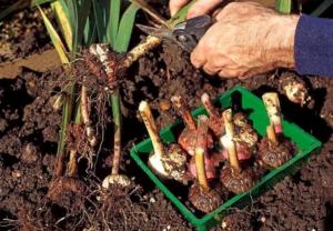Гладиолусы - своевременная уборка и правильное хранение луковиц