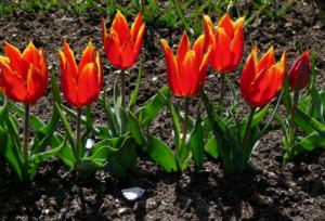 Секреты выращивание тюльпана Шренка