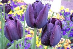 Бывают ли синие тюльпаны?