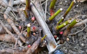 Как обрезать пионы на зиму