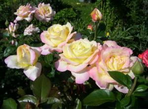 Роза Глория Дей - особенности выращивания