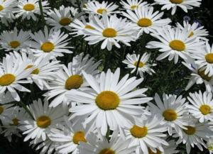 Выращивание ромашек садовых