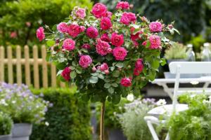 Обильное цветение розового дерева