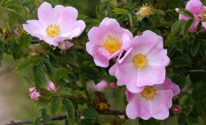 Как вырастить Rose Canina или шиповник собачий