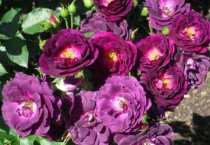 Особенности выращивания сиреневых роз